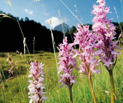 Orquídeas pirenaicas.